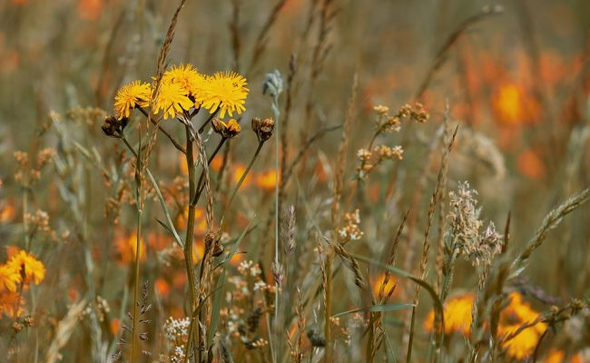 wild-flower-meadow-3386078_960_720