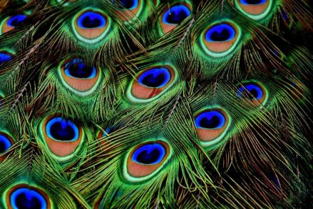 peacock-feathers-3013486_1920_0